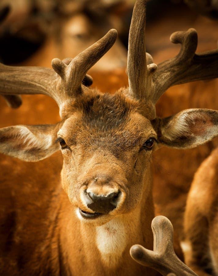 Brown Deer royalty free stock photo