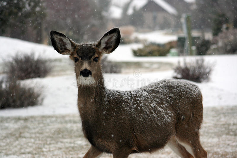 Brown Deer On Snow Covered Round With House And Trees In Background During Daytime Free Public Domain Cc0 Image
