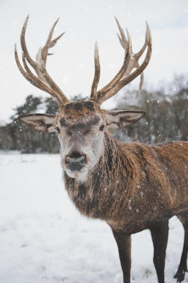 Brown Deer Standing on Snow royalty free stock image