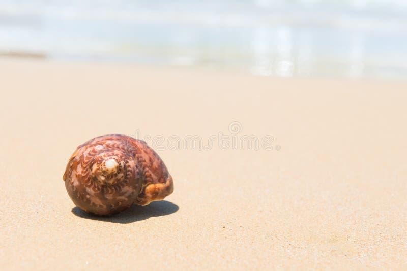 Brown denna skorupa na piasek plaży obraz stock