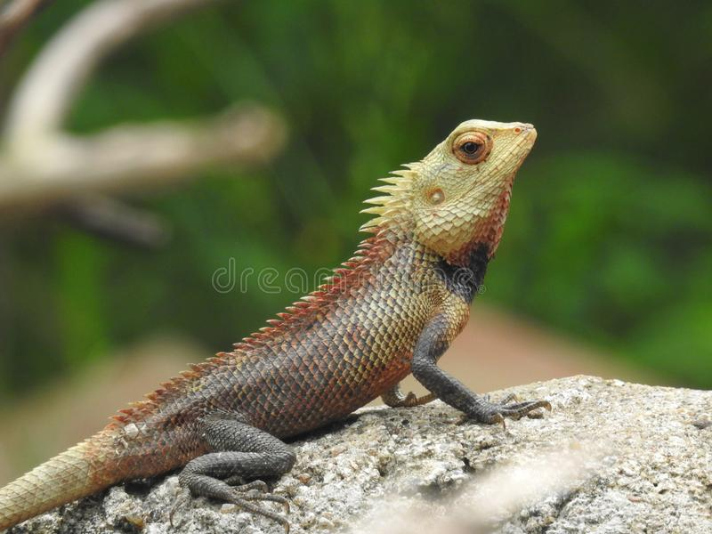 Brown desert lizard resting on a rock royalty free stock photos