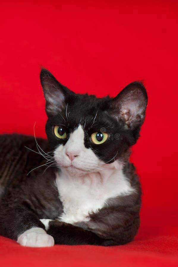 Brown Devon Rex Cat Stock Photo
