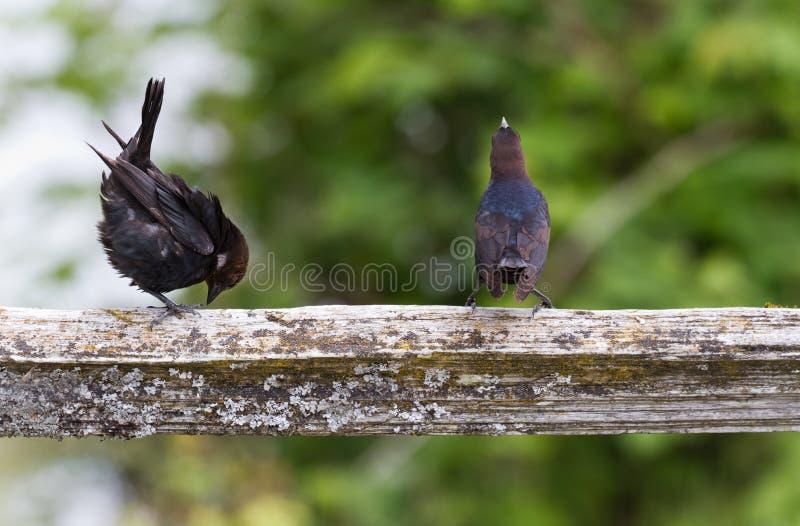 Brown a dirigé le Cowbird photographie stock