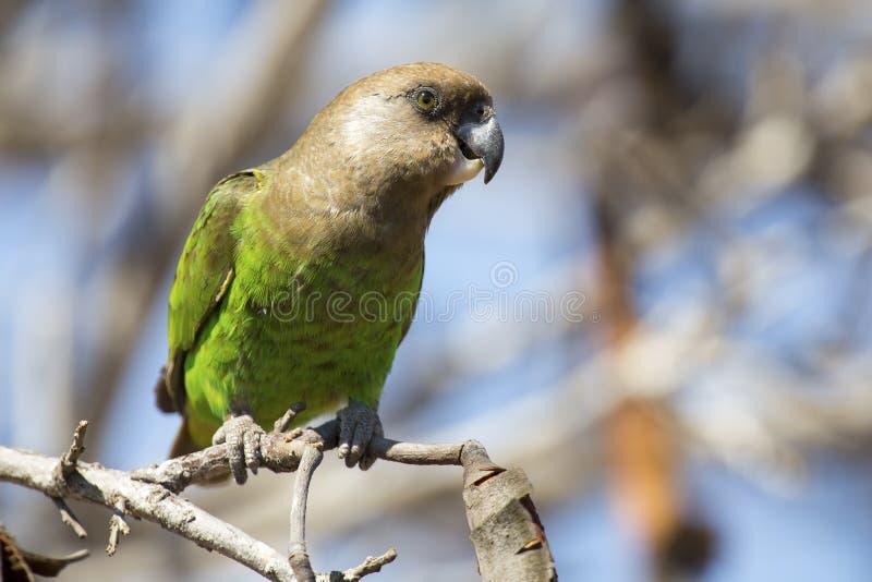 Brown a dirigé le perroquet se reposant sur une branche photos libres de droits