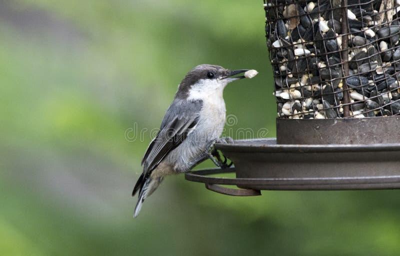 Brown dirigió el pájaro del trepatroncos que comía la semilla imagen de archivo