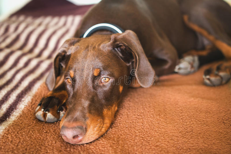 Brown doberman dog with normal ears laying on a bed royalty free stock photos