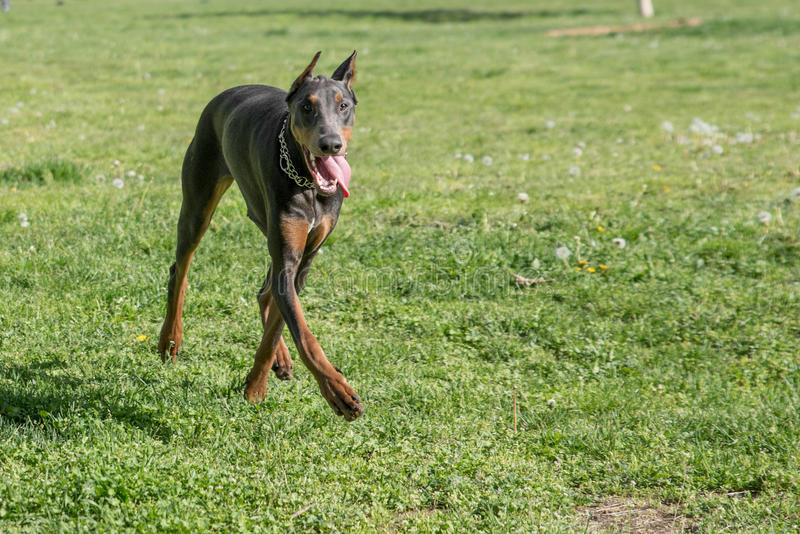 Brown Doberman Pinscher walking in the park royalty free stock images