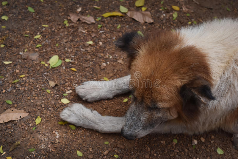 Brown dog abandoned , It felt scared hungry and alone. Brown dog abandoned , It felt scared hungry and alone and empty space for text royalty free stock photography