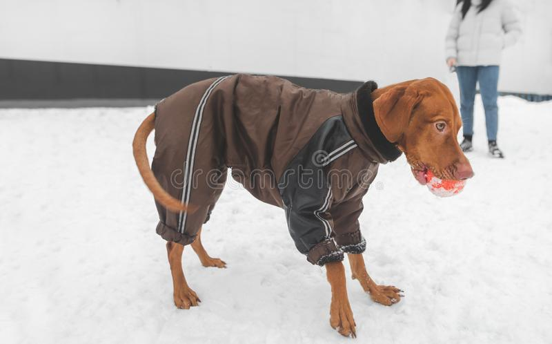 Brown dog in the breed magyar vizsla in winter clothes with a ball in their teeth during the winter walk. Funny dog on the background of the owner. Winter walk stock images