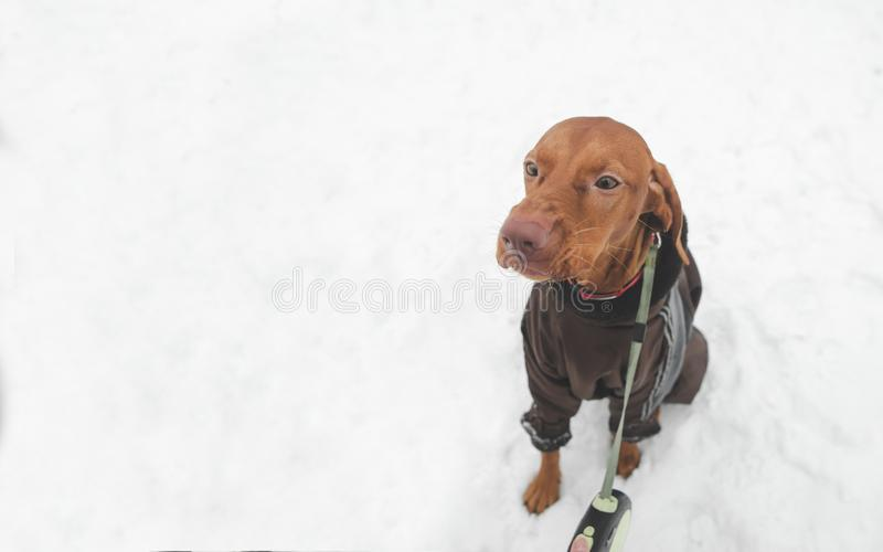 Brown dog breed magyar vyzsta on a leash against the background of snow, a view from above, looking to the side. Beautiful brown dog breed magyar vyzsta on a stock photography