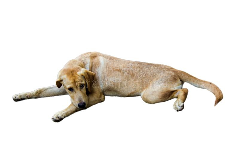 Brown Dog breed Ramadi dollars are lonely,white background royalty free stock images