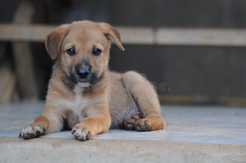 Brown dog cute on home stock photo