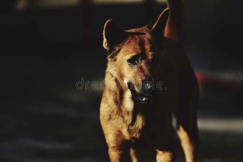 The rather dark brown fur dog shows sad eyes, lives in the temple. The   brown  dog   eyes, lives in the temple stock photos