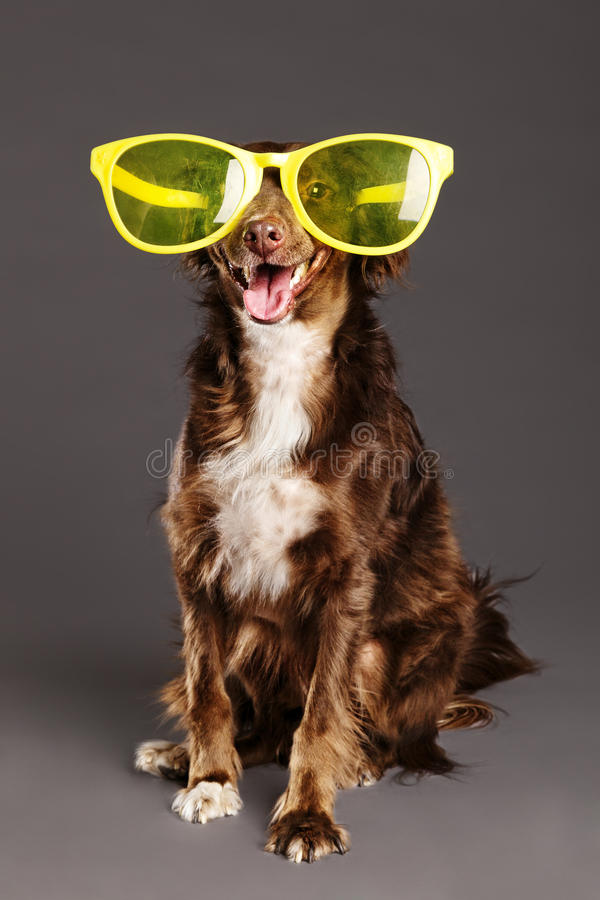 Brown Dog With Funny Glasses Studio Portrait Stock Image