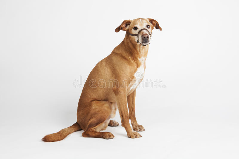 Brown dog with halter sitting on the white background. Animals training royalty free stock photos
