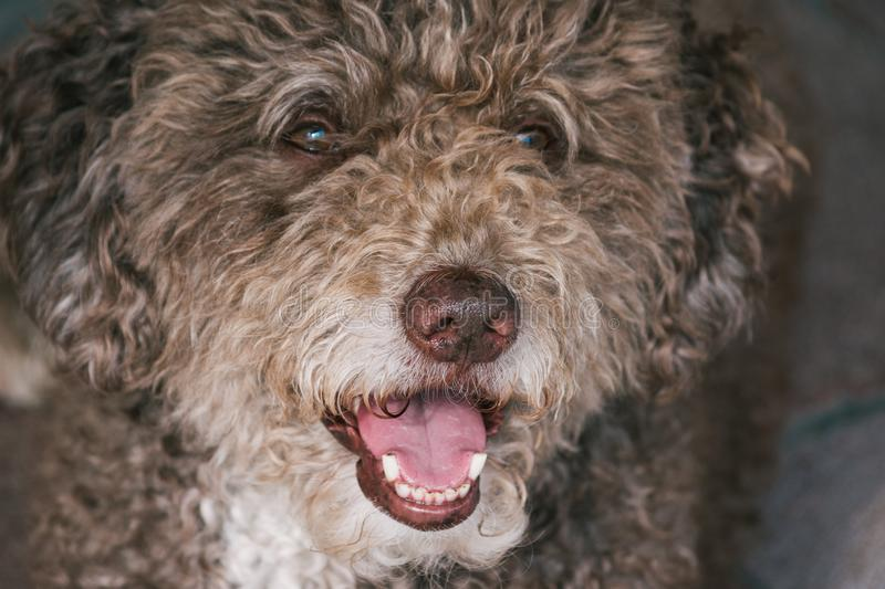 Brown dog long hair best friend stock images