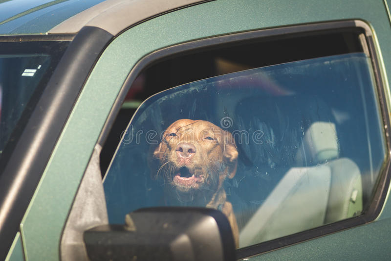 Brown Dog Looking Out Car Window stock photos