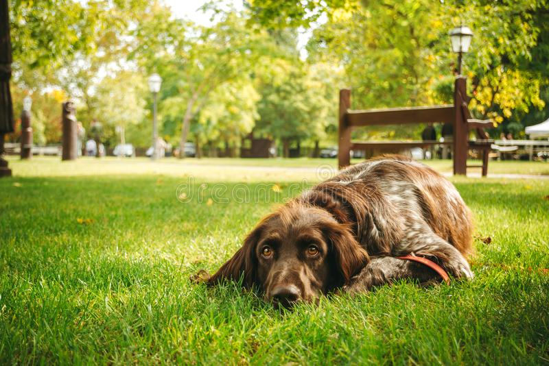 Brown dog lying alone on grass waiting for owner, hunting gun dog. A brown hunting dog is lying alone on green grass and waiting for the owner. It is a german royalty free stock photo