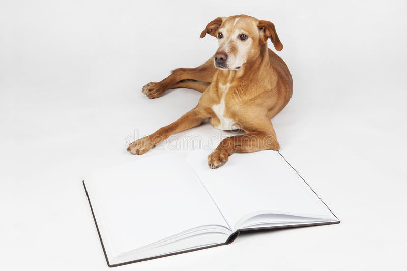 Brown dog lying by an open book. Animals training, education, erudition stock image