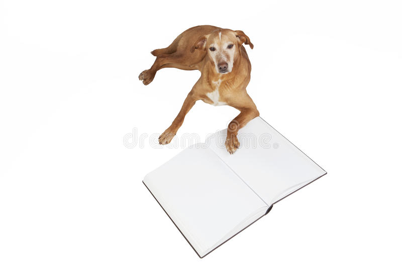 Brown dog lying by an open book. Animals training, education, erudition. Isolated on a white background royalty free stock photo