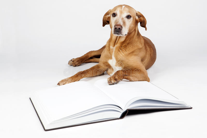 Brown dog lying by an open book. Animals training, education, erudition. Stare at us stock images