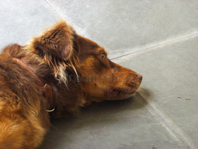 Brown dog resting and thinking royalty free stock photos