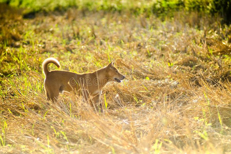 Brown dog running in the grass field stock photo