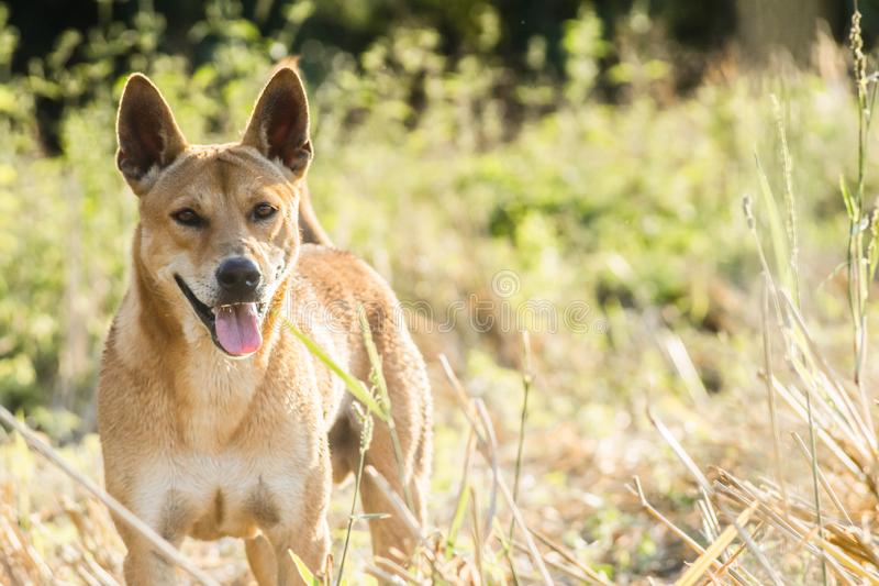 Brown dog running in the grass field stock photos