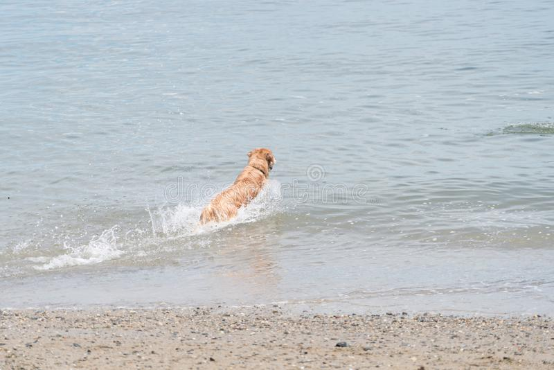 Brown dog splashing in the water at a beach. A dog splashing in the water at the beach, moving away from the viewer royalty free stock photo