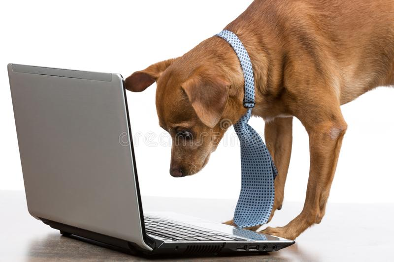 Brown dog with a tie is looking at an open laptop, on a white background, concept business and finance stock photography