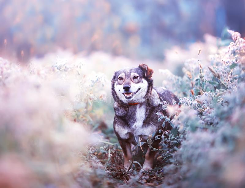 Brown dog walks on a clear Sunny meadow and smiles happily on a walk on a warm day. Cute brown dog walks on a clear Sunny meadow and smiles happily on a walk on royalty free stock photos