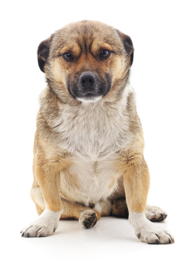 Brown dog. Brown dog on a white background stock photo