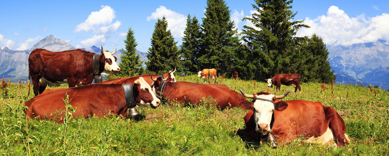 Brown dojne krowy fotografia stock