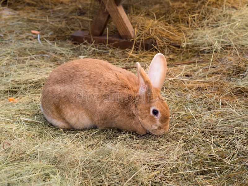 Brown domestic rabbit on the hay royalty free stock photos