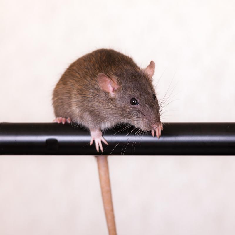 Brown domestic rat. On a black crossbar royalty free stock images