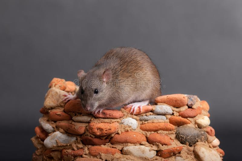 Brown domestic rat. In a small stone fortress stock photo