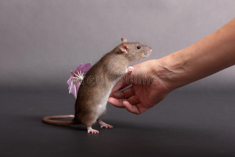 Brown domestic rat. And human hand closeup stock image