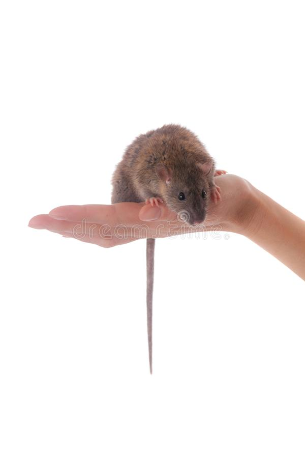 Brown domestic rat on palm. Little brown domestic rat on palm close up royalty free stock images