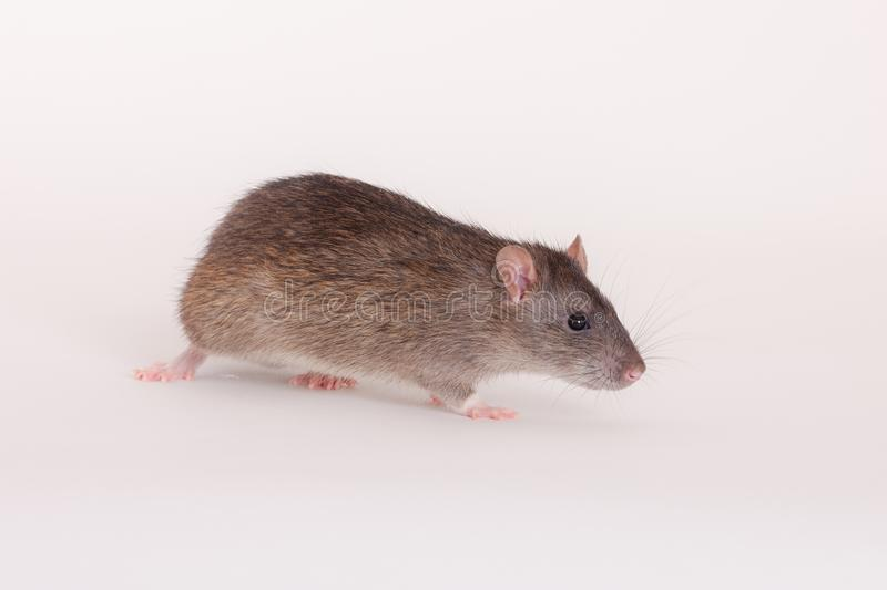 Brown domestic rat. Portrait of a brown domestic rat close up royalty free stock image