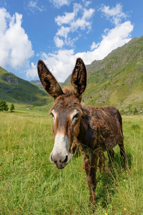 A brown donkey nestled in a mountain landscape under a blue sky. With white clouds, vertical image stock photography