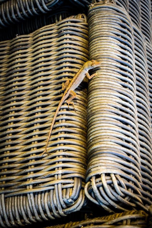 Brown-Doppeltendstück-Wandeidechse, die auf Weidenstroh gesponnenen Stuhl kriecht, der Hintergrundtarnungsfarbe ist lizenzfreies stockfoto