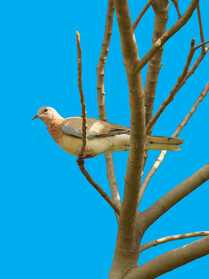 Brown Dove royalty free stock photos