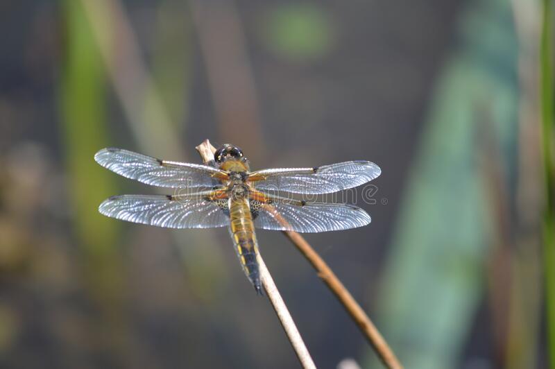 Brown Dragon Fly by a pound royalty free stock photography