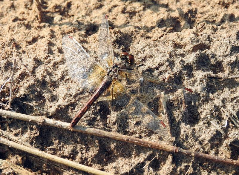 Brown dragonfly on ground, Lithuania stock photos