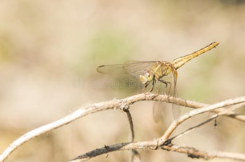 Brown Dragonfly Perched on Brown Stem royalty free stock photo