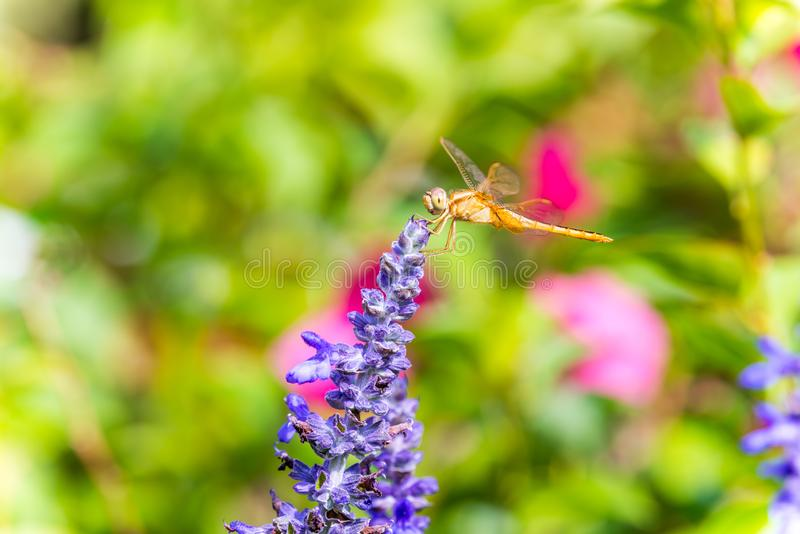 A brown dragonfly perching on the top of blue sage salvia flowers in the park in Shenzhen, China stock photography