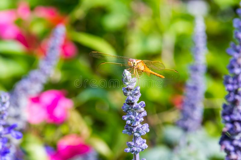 A brown dragonfly perching on the top of blue sage salvia flowers in the park in Shenzhen, China.  royalty free stock photography