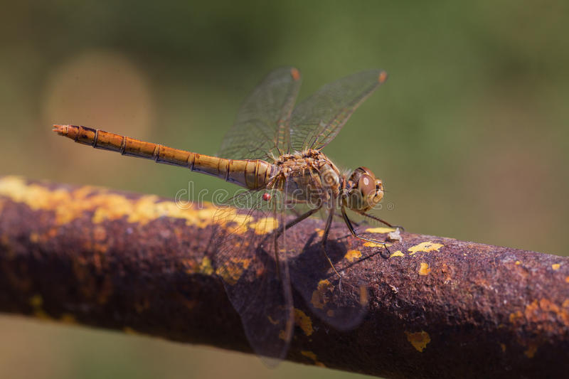 Brown dragonfly stock images