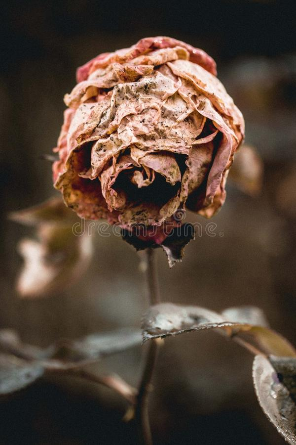 Brown Dried Rose Macro Photography stock images