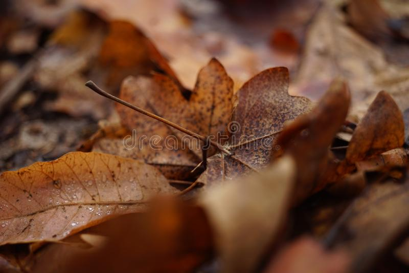 Brown dry leaves on a floor. Autumn forest, natural background.  stock images